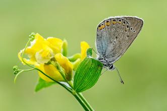 Photo: Polyommatus amandus, Azuré de la jarosse, Amanda's Blue http://lepidoptera-butterflies.blogspot.fr/