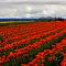 tulips 5.jpg