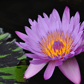 Light Purple Water Lily by Susan Grefe - Nature Up Close Flowers - 2011-2013 ( water, purple, lily, green, lily pad, water lily )
