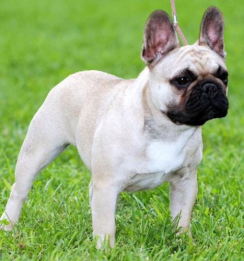 玩攝影App 法國鬥牛犬免費 APP試玩
