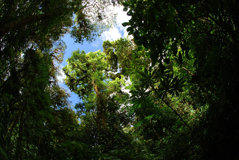 Photo: Trees fight for light at Monteverde Cloud Forest Reserve