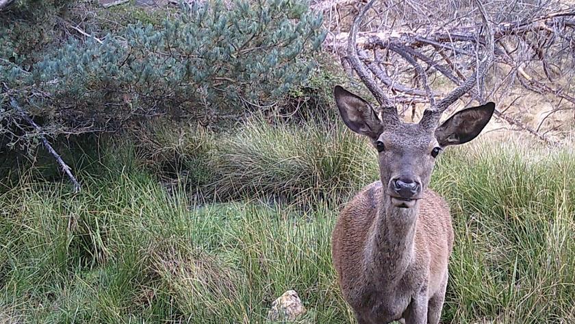 El 'bebé' ciervo mirando a una de las cámaras de la Sierra de los Filabres.