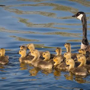 Canada Goose and Goslings.jpg