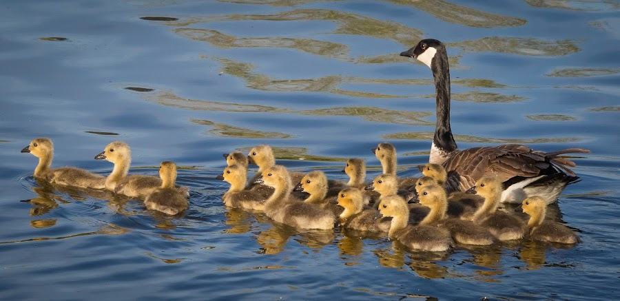 Canada Goose and Goslings by Dave Lipchen - Animals Birds ( water, goslings, canada geese, swimming,  )