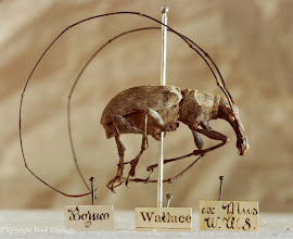 Photo: Fungus weevil (Anthribidae) collected in Sarawak, Borneo. © National Museum of Wales, Cardiff & Fred Edwards
