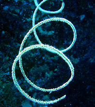 Photo: Spiral coral