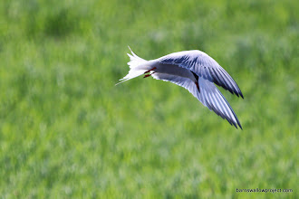 Photo: A tern hunting over the creek
