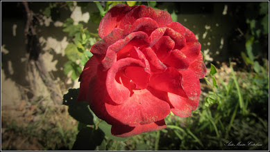 Photo: Trandafir (Rosa) de pe Str. Salinelor, Nr.15 - 2017.09.08