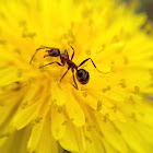 Common dandelion, ant