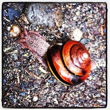 Photo: Snail in action at Bridal Falls, BC #intercer #snail #slow #life #nature #trail #ground #rocks #animal #shell #brown #color #colors #beautiful #pretty #head #forest #fall - via Instagram, http://instagram.com/p/c2FibRpfms/