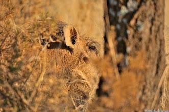 Photo: Warthog, Mokala National Park.