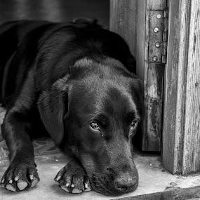 Dramatic dog by Shakool Das - Animals - Dogs Portraits ( black and white, dog, labrador, close up, portrait )