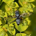 Fruit -fly