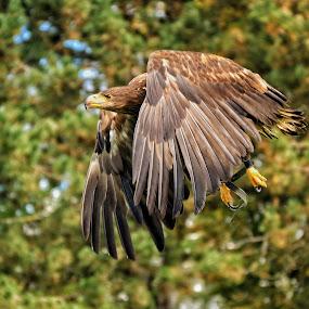 Stone Eagle  by Franz  Adolf - Animals Birds ( bird, eagle )
