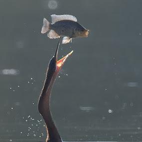 Fish juggler by Tobie Oosthuizen - Animals Birds ( kruger national park, fish, african darter, prey )