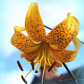 lily by Caroline Beaumont - Flowers Single Flower ( lily )