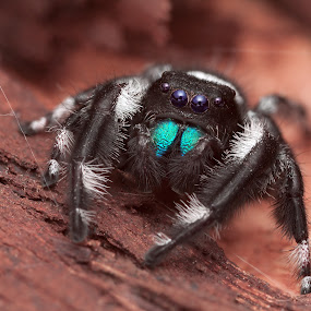 °oo° by Tomáš Celar - Animals Insects & Spiders ( canon, regius, tomáš, macro, celar, blue, male, phidippus, chelicerae, cute )