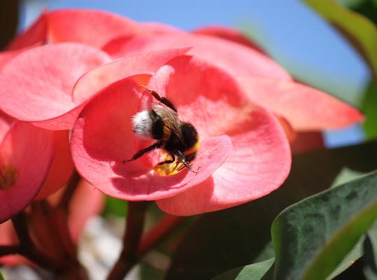 Un'ape di Antonio De Felice