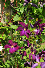 Photo: Clematis jackmanii purpurea 2