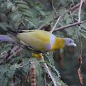 Pigeon  -  Yellow-footed Green Pigeon