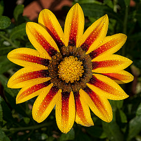 by Bharat Dudeja - Nature Up Close Flowers - 2011-2013 ( gazania, asteraceae, nature, flower, droplets )