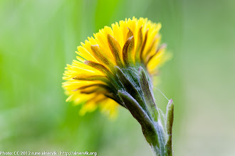 Photo: Coltsfoot.