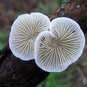 Resupinate disc fungus