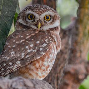 Spotted Owl 🦉 by Suman Basak - Uncategorized All Uncategorized ( nature, colorful, owl, wildlife, prey, raptor, cute, close up, birds, portrait )
