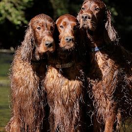 Brotherly love by Ken Jarvis - Animals - Dogs Portraits ( dogs, irish setter, dog portraits, irish, cute )