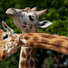 Love at high altitudes by Massimo Mazzasogni - Animals Other Mammals ( love, nature, neck, giraffe, mouth, eyes )