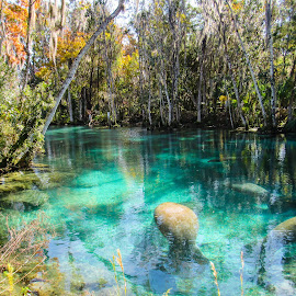 by Shari Linger - Nature Up Close Water ( manatee, florida, wildlife, cold snap, three sister springs, crystal river and the springs,  )