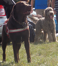 Photo: Winston Labrador and Brian Labradoodle