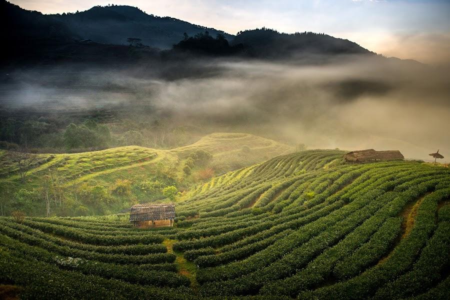 Tea Plantation in Fog by Zanetti Sukarnjanaprai - Landscapes Mountains & Hills