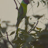 Blossom-headed parakeet