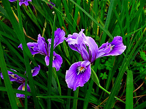 Photo: iris douglasiana (Pacific coastal iris)