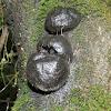 Black wood-fungus