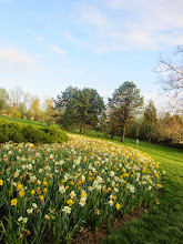 Photo: River of yellow daffodils in the fading light at Cox Arboretum in Dayton, Ohio.
