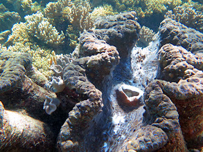Photo: Giant clams on every dive--they averaged 2-3 feet across and their mantles were blue, purple, deep green--all featuring neon dots of electric coloration. Spectacular.