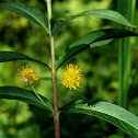 Tufted Loosestrife