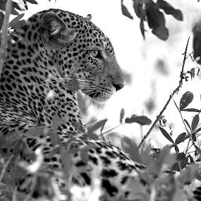 B&W Leopard perfection  by Sheila Grobbelaar - Animals Lions, Tigers & Big Cats ( leopard )