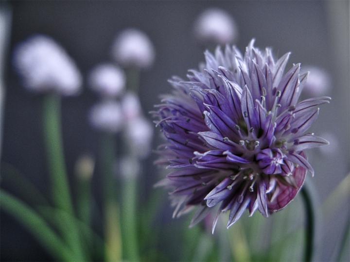 Fiore dell'erba cipollina di nebbia