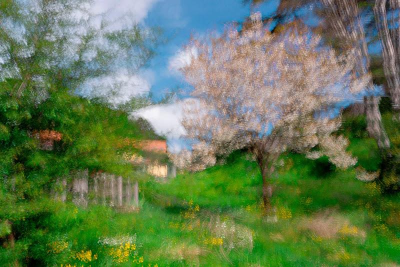 Ciliegio in fiore di loredana de sole