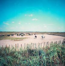 Photo: Toros típics de la Camarga, França