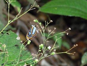 Photo: AGARISTA CLEARWING-oleria agarista--EL CAPRICHO TRAIL
