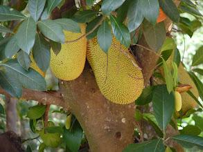 Photo: Ko Jum - fruit trees