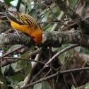Tángara dorada - Golden tanager