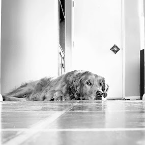 Rufus by Ray Cloutier - Animals - Dogs Portraits ( golden. rufus. staring. perspective. dog )