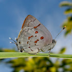 Red-spotted hairstrea