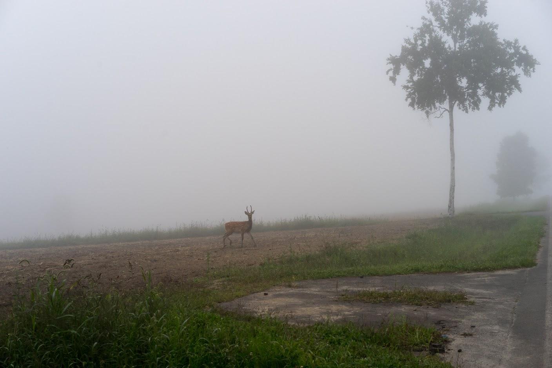 ひまわりの里に迷い込む鹿