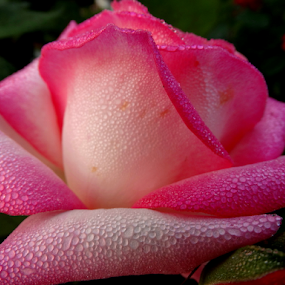 Dew on a beautiful Rose... by Gautam Tarafder - Flowers Single Flower (  )